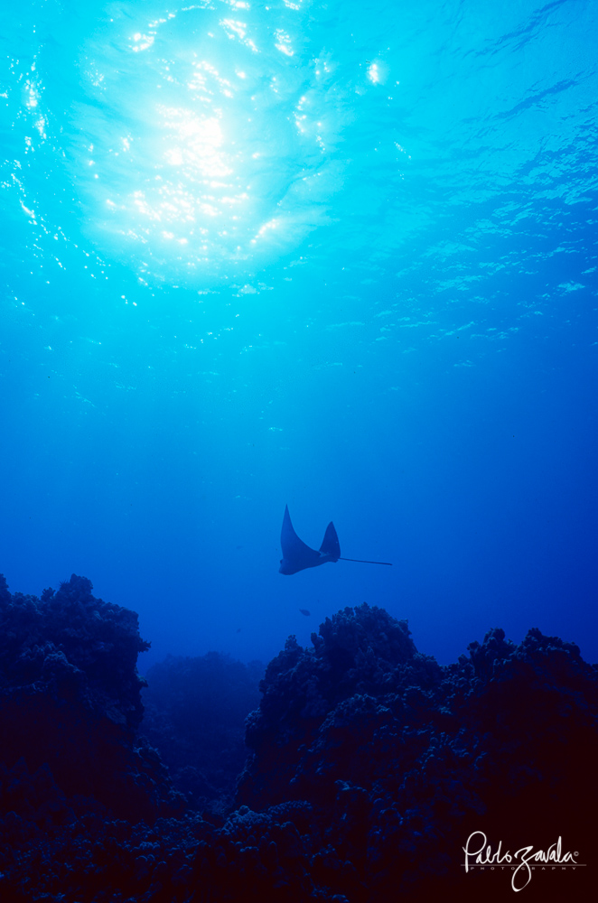 Hawaii_Maui_Eagle_Ray_Pablo_Zavala-6