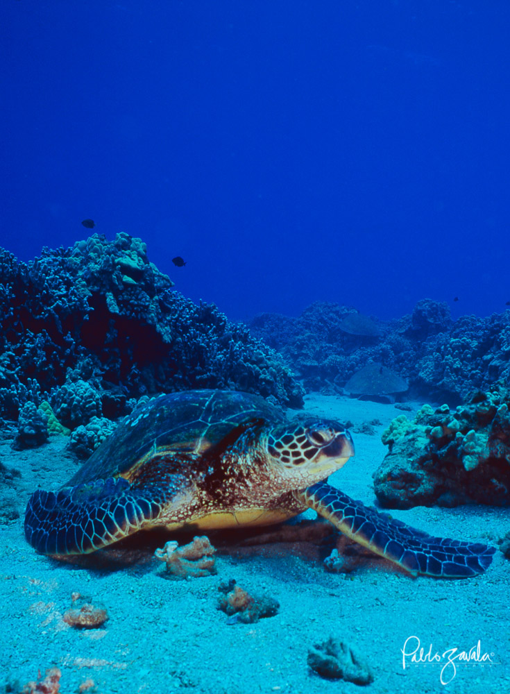 Hawaii_Maui_Green_Sea_Turtle_Pablo_Zavala-7