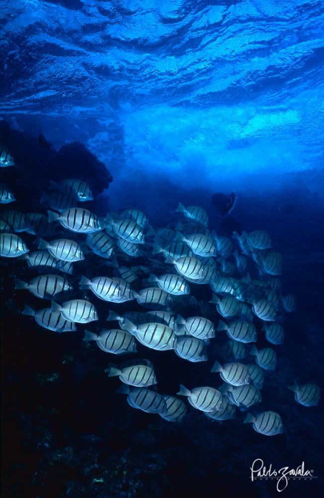 Maui_Hawaii_surgeonfish_Pablo_Zavala-9
