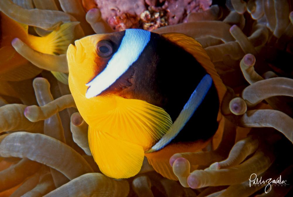 Ras_Abu_Galum_Egipto_Clown_Fish_Pablo_Zavala-17